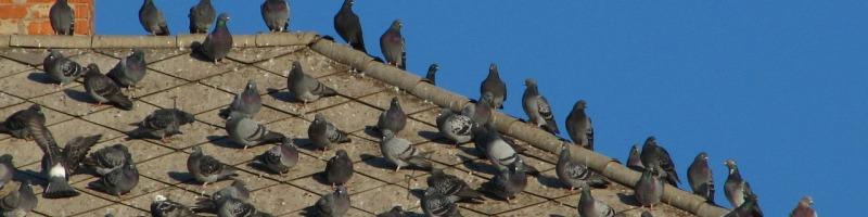 Птицы на крыше, защита от птиц